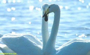 Cisnes del Amor imágenes