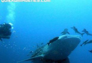 Buceoeando entre tiburones en Tailandia imágenes