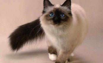 Gatito siamés imágenes