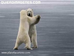 Osos polares bailando imágenes