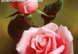 Bonitas rosas imágenes
