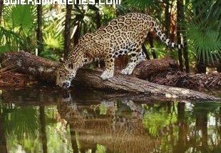 Jaguar bebiendo imágenes