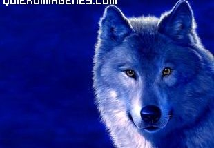 Lobo azul imágenes