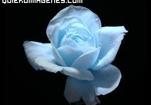 Rosa azul imágenes