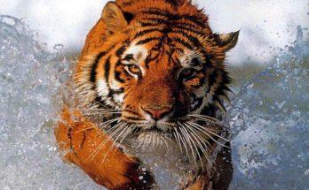 Tigre saltando en el agua imágenes