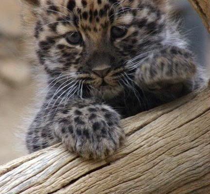 Bebé leopardo imágenes