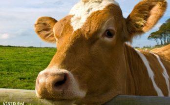 Bonita vaca de granja imágenes