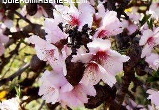 Flor de almendro imágenes