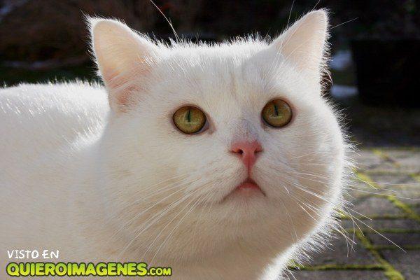 El gatito blanco imágenes