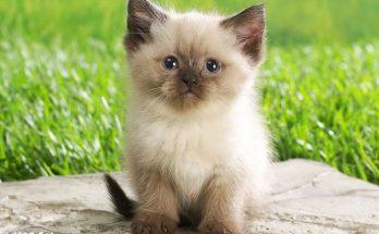 Un gatito siamés imágenes
