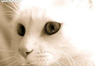 Gato blanco pulcro imágenes