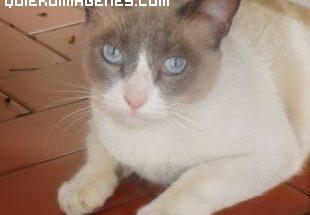 Gato de ojos azules imágenes