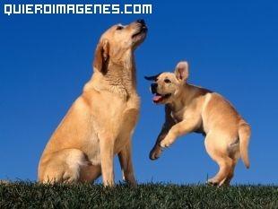 Cachorro de Labarador jugando con mama imágenes