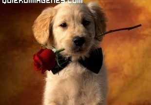 Un cachorro y una rosa imágenes