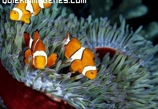 Simpaticos peces payaso imágenes