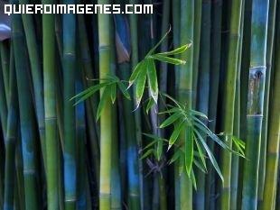 Bambu verde florecido imágenes