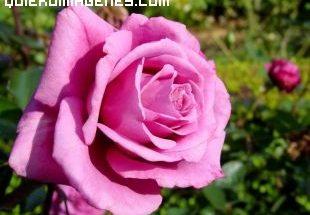Rosa en Jardín imágenes
