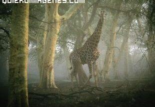 ¿ Una jirafa perdida en el bosque? imágenes