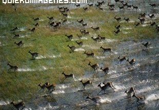 Migración de antilopes imágenes
