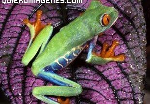 Colorida rana imágenes