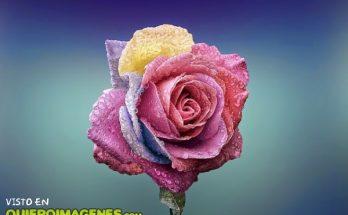 Una rosa a todo color imágenes