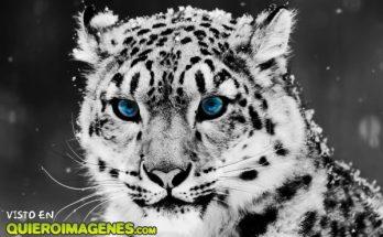 Tigre blanco imágenes