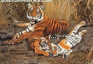 Imagen de tigres en familia imágenes