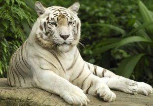 Imagen de tigre blanco imágenes