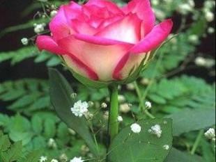 Rosa imágenes
